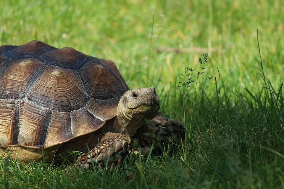 02-tortue (capricorne).jpg