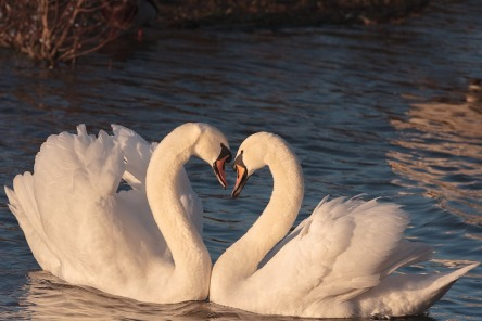 swans-2116649_960_720.jpg